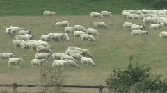 Sheep walk across field Stock Footage