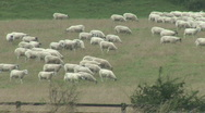 Stock Video Footage of Sheep walk across field