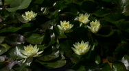 Lily Yellow 7 Loop Stock Footage