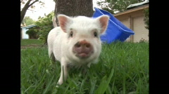 Pot belly pig outside Stock Footage