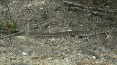 Rattlesnake Encounter Stock Footage