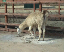 The llama in search of food Stock Footage