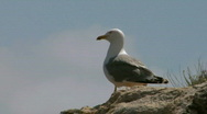 Stock Video Footage of seagull 07