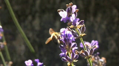 Bee on lavender 12 Stock Footage