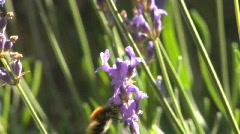 Mehiläinen laventeli 13 Arkistovideo