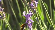 Bee on lavender 13 Stock Footage