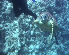 Hawksbill turtle aproaches camera and bites lens - stock footage