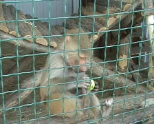 Baboon Stock Footage