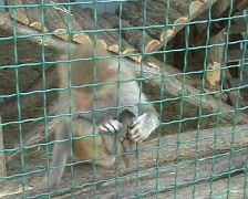 Baboon in a zoo Stock Footage