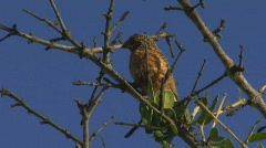 South Africa Birds 01 Stock Footage