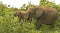 South Africa Jeep Safari 10 Elephant 02 Stock Footage