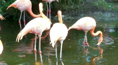 Flamingobirds Stock Footage