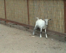 Young goat Stock Footage