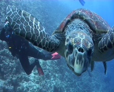 Hawksbill turtle biting lens Stock Footage