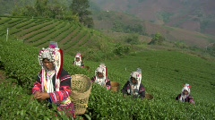 Green Tea Harvest Stock Footage