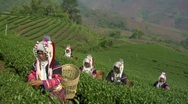 Stock Video Footage of Green Tea Harvest