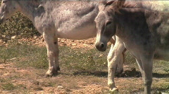 Aruba burros donkeys Stock Footage