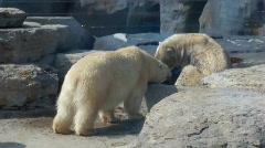 Polarbears Stock Footage