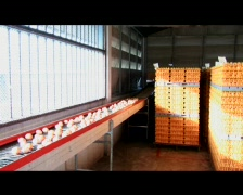 Egg Processing Plant - Wide Shot Stock Footage