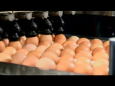 Eggs Lowered Onto Conveyor Belt In Processing Plant Stock Footage