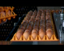 Loading Eggs Onto Conveyor Belt In Processing Plant Stock Footage