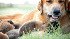 Mother dog and nursing her newborn puppies Stock Footage