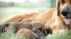 Dolly right dog and pups Stock Footage