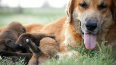 Dog and pups static Stock Footage