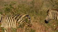 Stock Video Footage of Zebra Herd