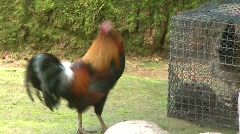 Banaue hillside village rooster 3 Stock Footage