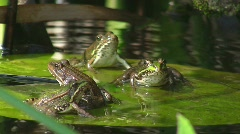Frogs on water lily (jumping) Stock Footage