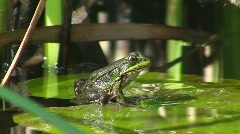 Frog on water lily (jumping) Stock Footage