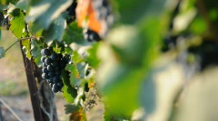 Grapes in a Vineyard - stock footage