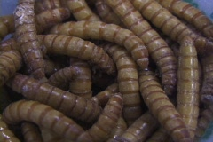 Cup-o-mealworms Stock Footage
