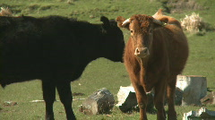 Two different colored cows  Stock Footage