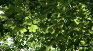 Stock Video Footage of green leafes moving in the wind