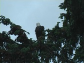 Eagle in tree Stock Footage