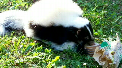 Skunks Stock Footage