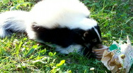 Stock Video Footage of skunks