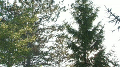 Tree tops to sunny field TLT DN Stock Footage