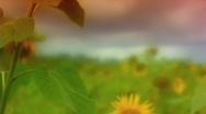 Sunflower 4 Stock Footage