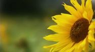 Sunflower 3 Stock Footage