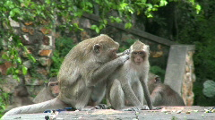 Young Monkey Being Groomed Stock Footage
