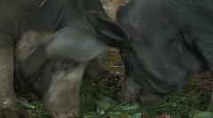 3 Berkshire pigs feeding in pen Stock Footage