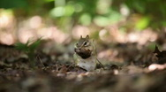 Female chipmunk munching on mushrooms Stock Footage