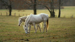 White horses Stock Footage