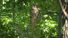 red tail hawk06 - stock footage