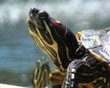 Turtle Head Turn PAL Stock Footage