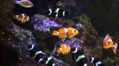 Clown fish V4 - HD  - stock footage