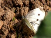 Stock Video Footage of The Large White